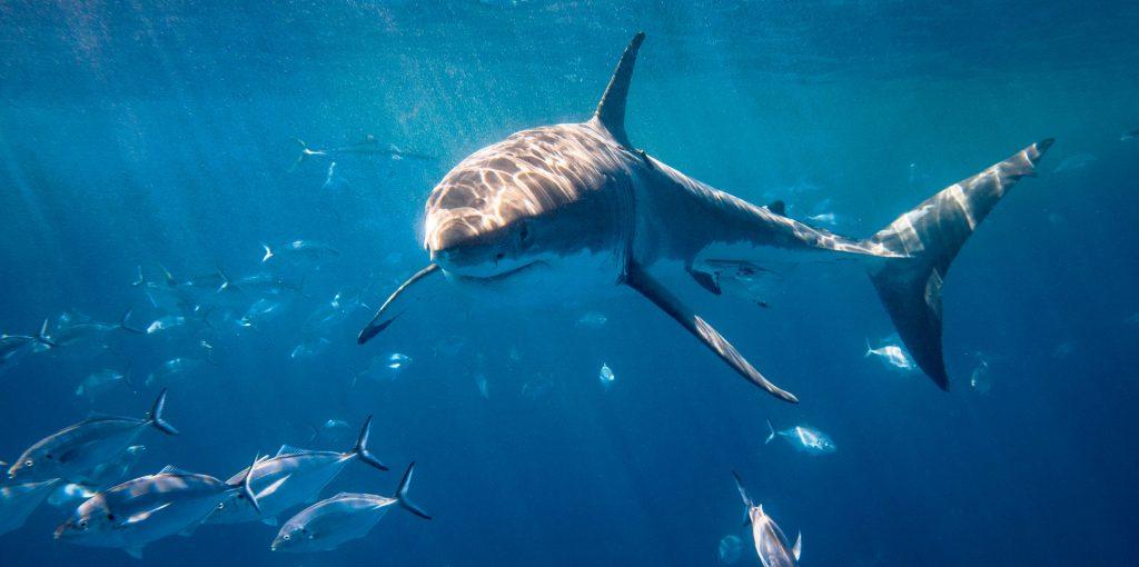 Shaping the Way We See Sharks
