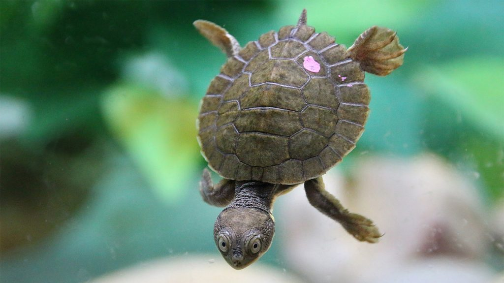 Saving the freshwater Bellinger River Snapping Turtle from extinction