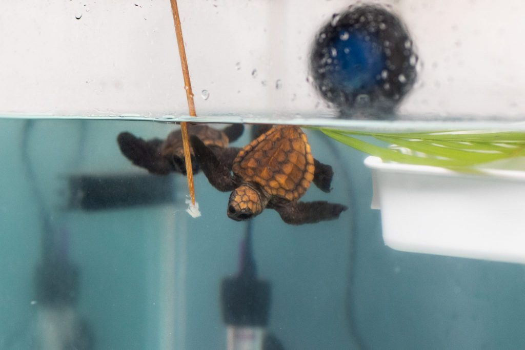 Two loggerhead turtle hatchlings swim in a tank
